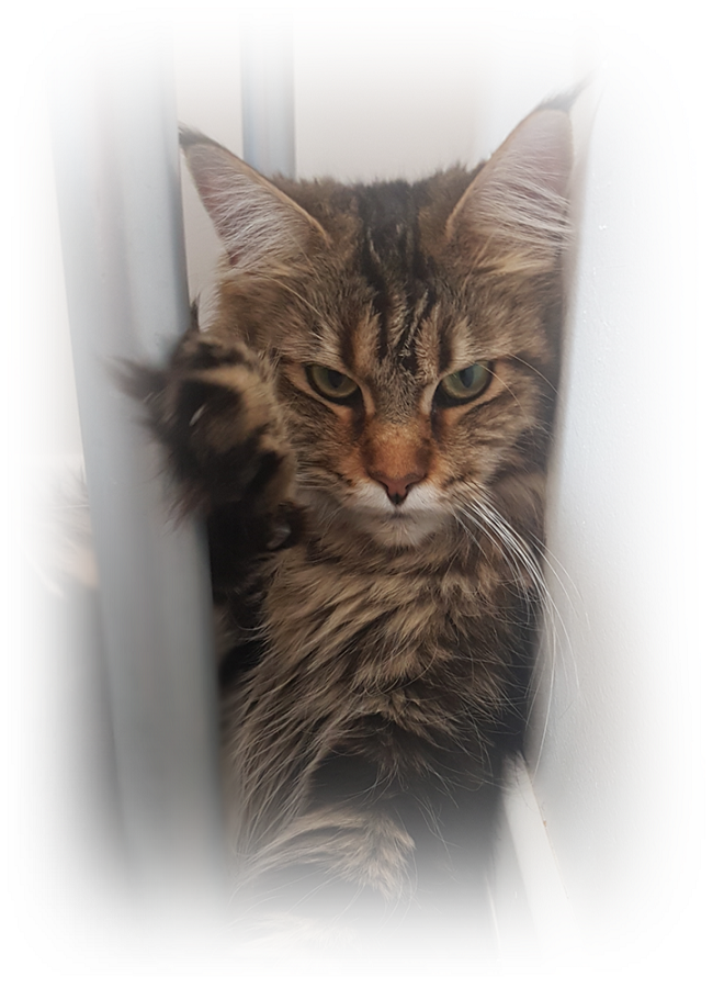 chat maine coon Malyss 04 05 17