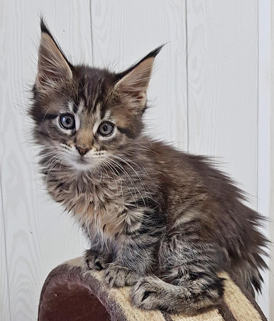 chaton maine coon Quoquine